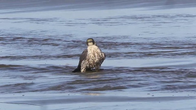 An Adult Peregrine Falcon taking a bath in stream leading onto the beach.