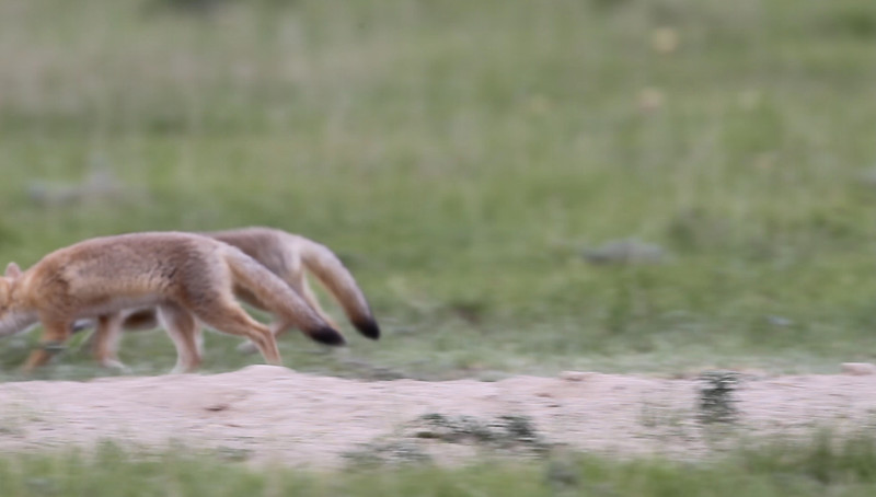 Swift Fox kits playing