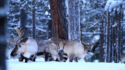 Rentiere  -  Arvidsjaur, Schweden /  Reindeers - Arvidsjaur, Sweden - mehr dazu im Blog: Rentiere im Schnee
