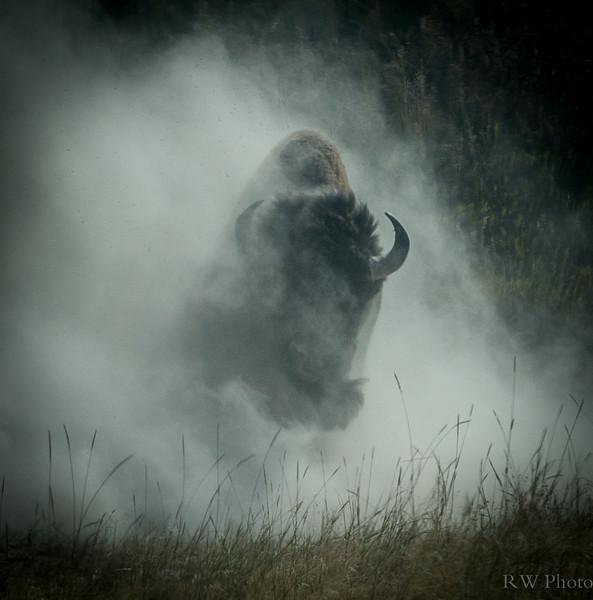 Dusting bull bison
