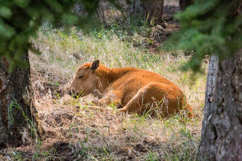 Sleepy red bison calf