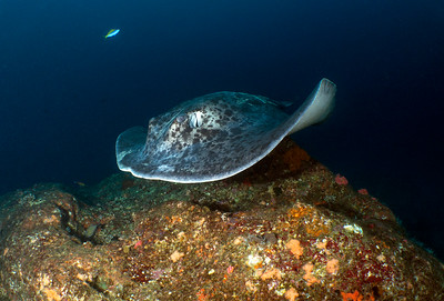 Taeniura meyeni (Round ribbontail ray)