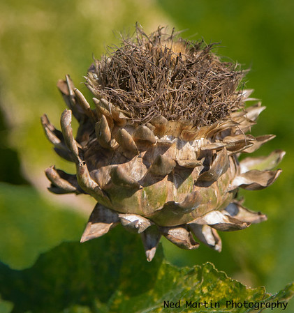 Artichoke, and the same one that was in last month's gallery.