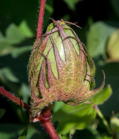 Earlier Cotton Bud