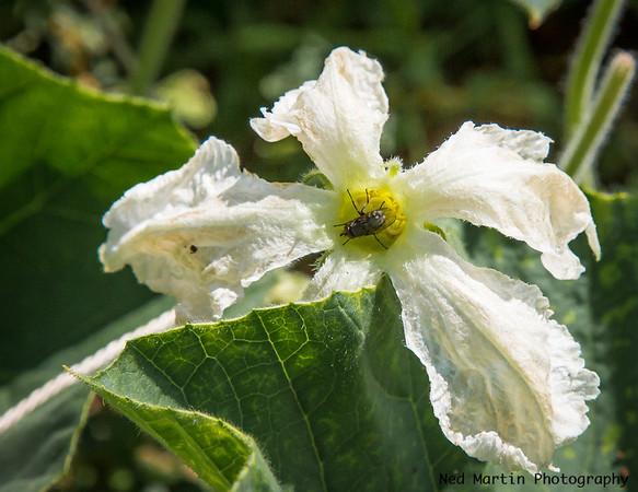 Flower of the Snake Bean