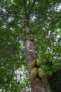 Wild jackfruit tree