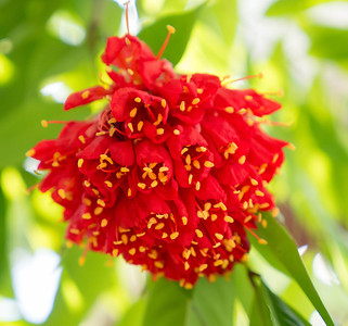 Flowers that look like red chillies