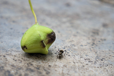 Ant with a jungle fruit