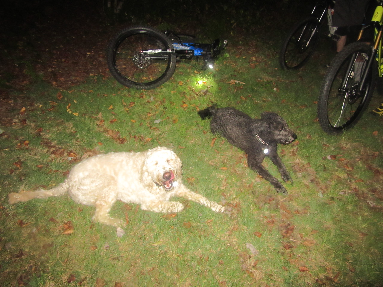 """Remi and Cotton take a much needed break. It has been three weeks since they got out, and they spent a lot of the evening trying to keep up with Mark as he would race ahead. They are just """"dog tired"""" right now."""