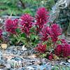 Mt Diablo Flowers