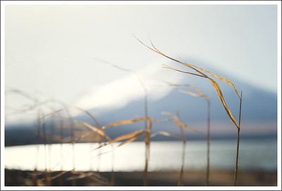 Backlit pampas grass against the mountain.