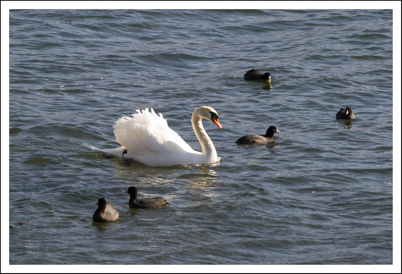 A mute swan with some coots.