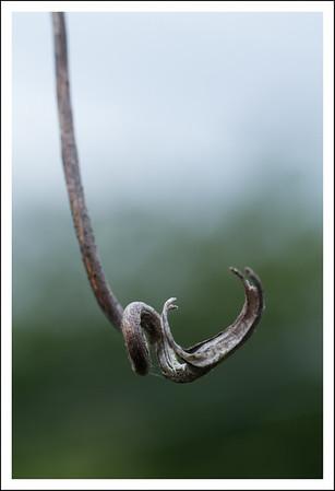 An old grape vine