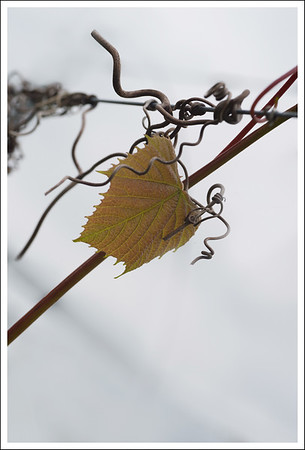 A new grape leaf among last year's old vines