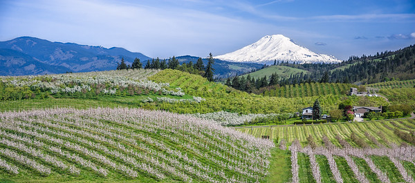 Hood River Valley orchards in bloom