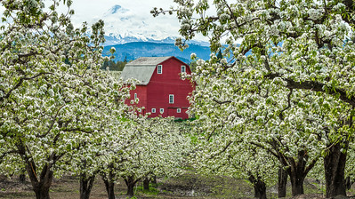A midst pear blossoms in the Hood River Valley