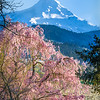 Spring blossoms in the Hood River Valley