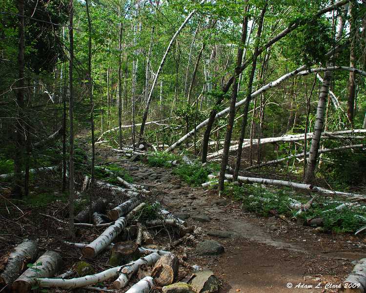 An area of white birch trees that suffered damage from December's ice storm along the Cascade Link Trail.