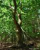 An oak tree next to the trail with plenty of twists in it