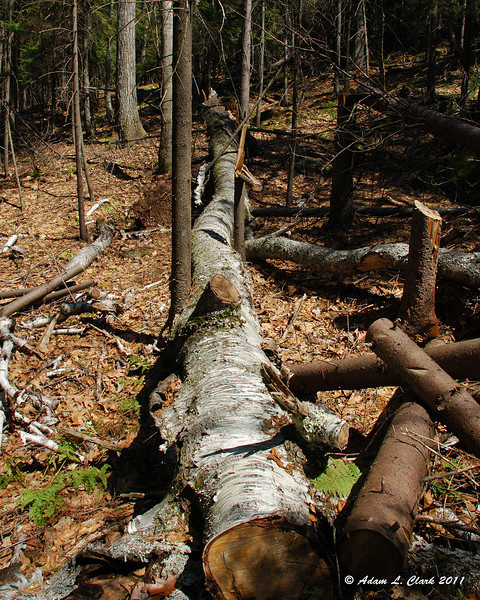 A fallen tree next to the trail