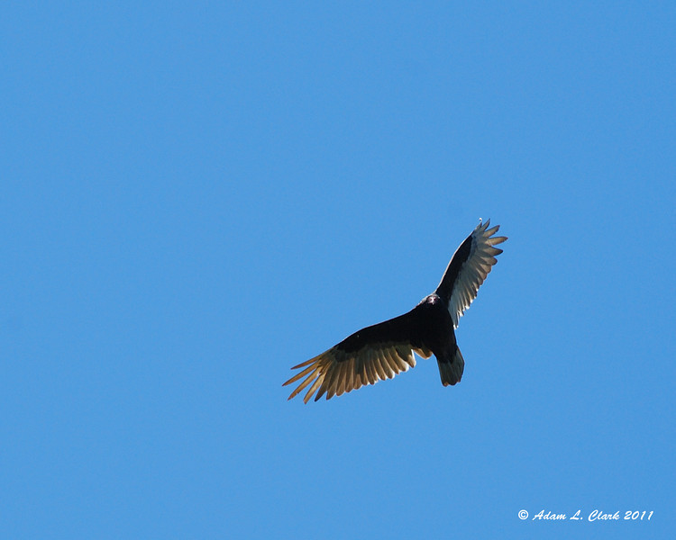 A turkey vulture flying overhead