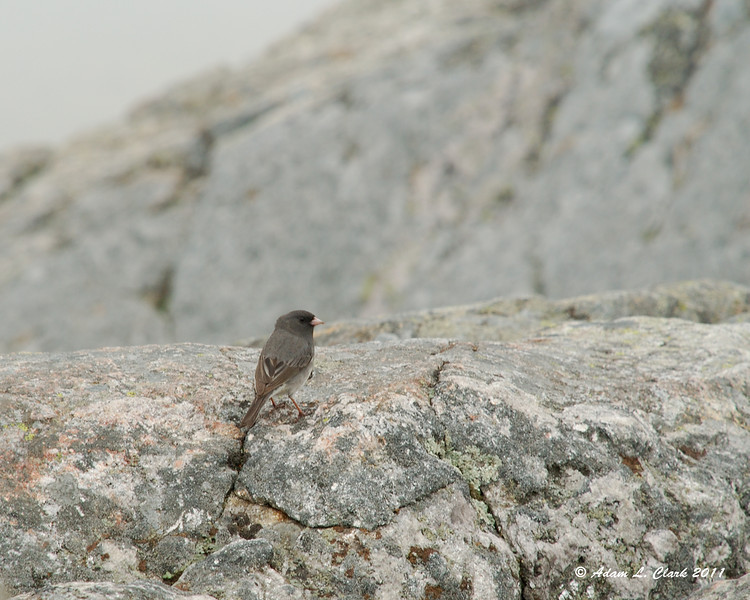 Junco on the summit
