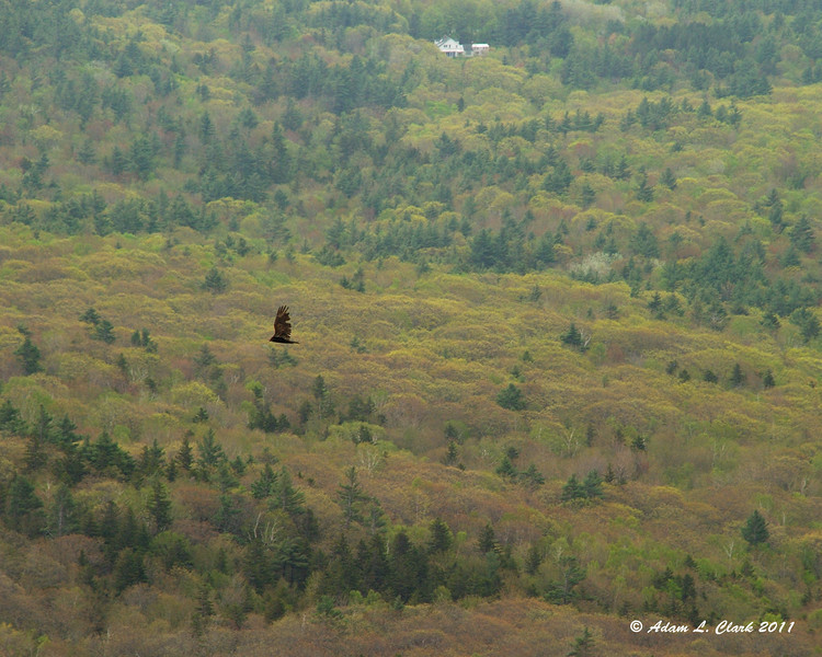 Another turkey vulture flying below