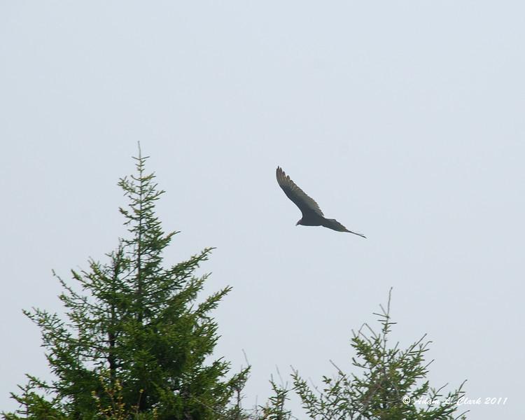A turkey vulture flying near by