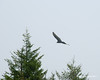 A turkey vulture flying near by