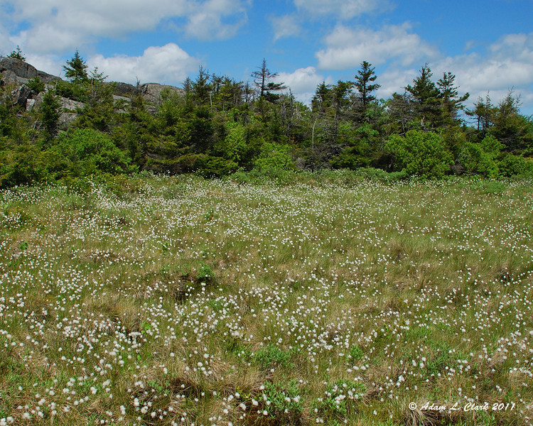 A large patch of Tussock Cottongrass