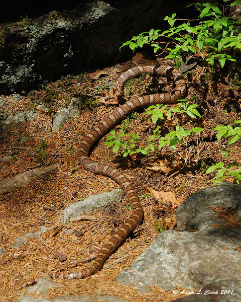 An adult milk snake getting some sun on the trail
