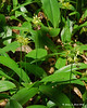 Clintonia (Bluebead Lily)