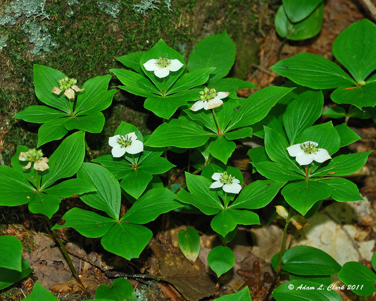 Bunchberry growing next to the trail