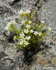 Mountain Sandwort