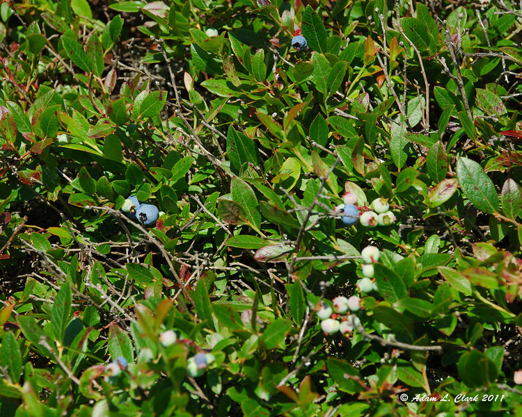 I found some blueberries that were already ripe.  They were tasty and a nice treat while hiking