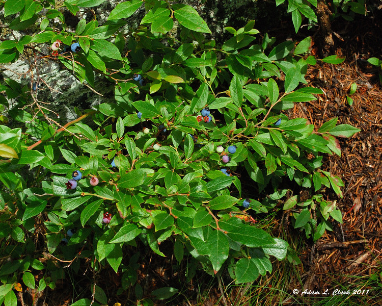 Wild Blueberries<br /> These blue berries are editable (and very tasty)