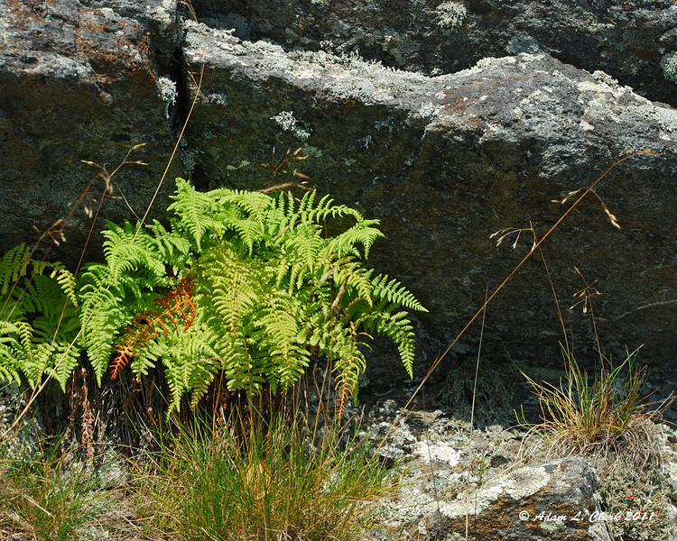 Ferns growing at the base of some rocks
