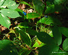 Clintonia (Bluebead Lily)<br /> These blue berries are poisonous