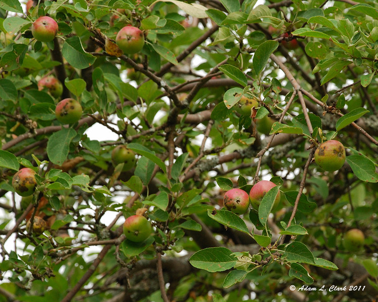 An apple tree at the old Halfway House Site