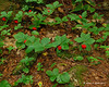 A patch of bunchberries next to the trail
