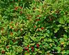 A berry bush along the trail