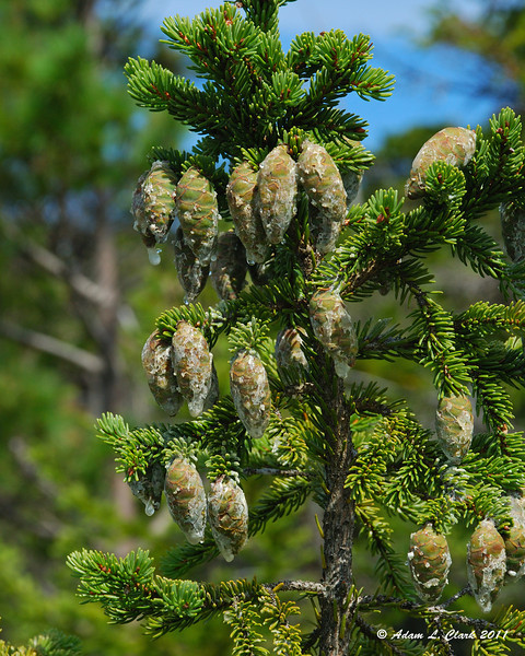 Spruce cones leaking plenty of pitch