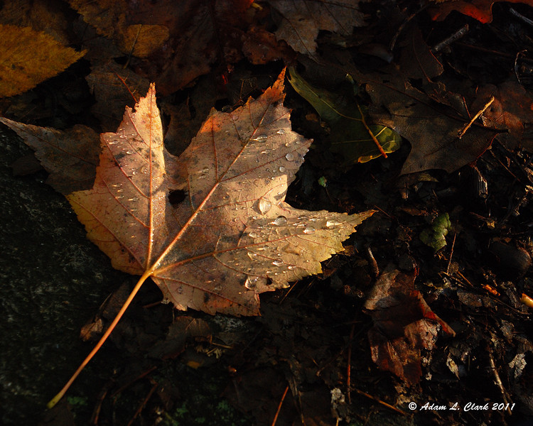 A fallen leaf with some water droplets on it