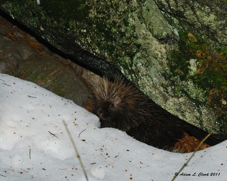 A porcupine that was right next to the Sidefoot Trail on my way down