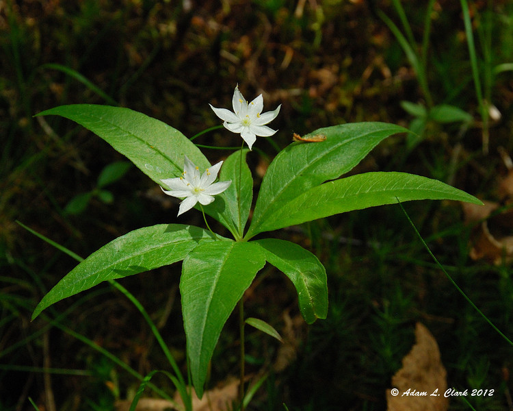 Star Flower in a small opening of sunlight