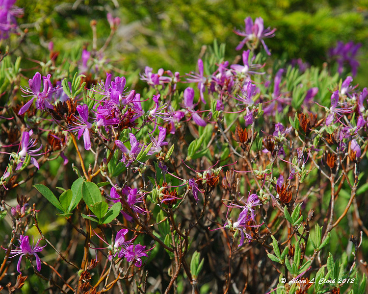 There was still some Rhodora in bloom along the trail higher up