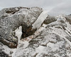 Thick pieces of ice clinging to the rocks
