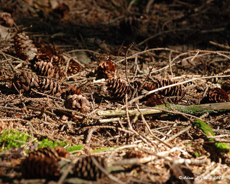 Small spruce cones next to the trail