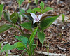 Near the junction with the Smith Bypass Trail, there were some Painted Trillium ready to bloom