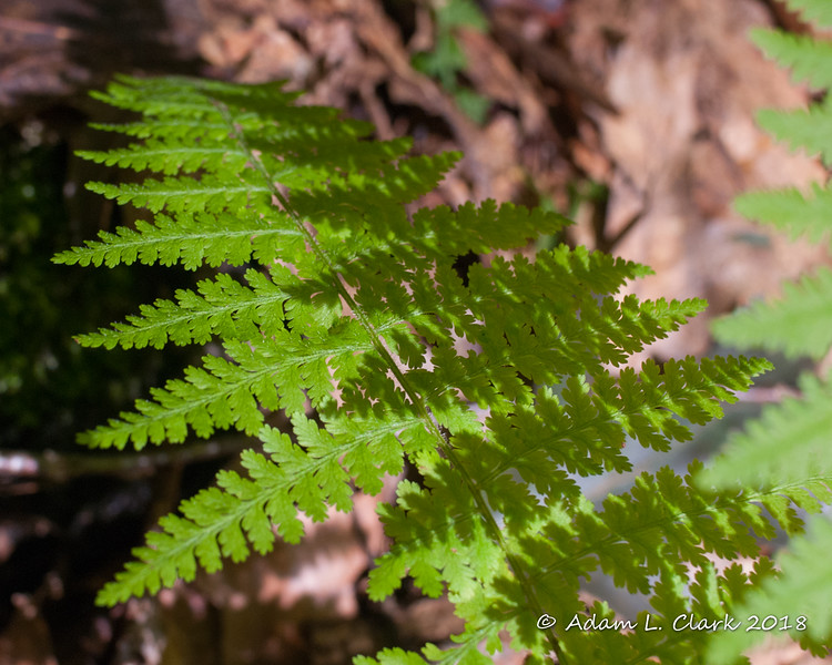 Ferns have a lot of different patterns going on in them
